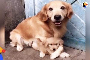 Protective-Dog-Dad-Wont-Let-Anyone-Near-His-Puppy-The-Dodo