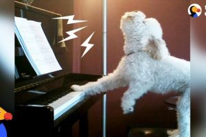 Singing-Dog-Loves-to-Play-Piano-Other-Dogs-Who-Found-Their-Passion-In-Life-The-Dodo