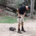 Baby Wombat Follows Keeper
