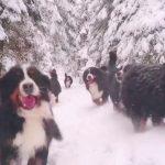 """Bernese Mountain Dogs """"Run! Run! Run!"""""""
