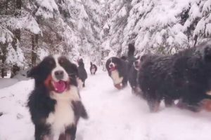Bernese-Mountain-Dogs-Run-Run-Run