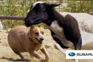 City-Dogs-Try-Herding-Sheep-For-The-First-Time-Presented-By-BuzzFeed-Subaru