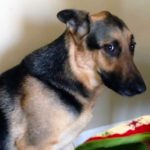 Cute German Shepherd Dog Videos Will Change Your Whole Day