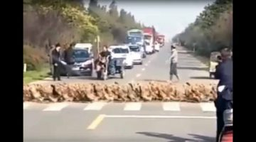 Thousands-Of-Geese-At-Zebra-Crossing