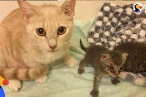 Cat-Mom-Nurses-Orphaned-Kittens-The-Dodo