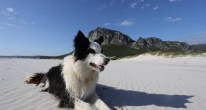 The-Border-Collie-that-changed-the-world