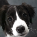 Baby Border Collie Puppies Who Are Too Cute to Be Real
