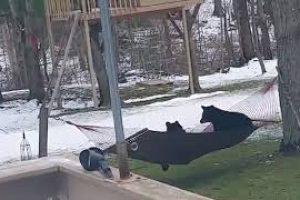 Bears-Versus-Hammock-987825