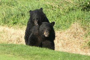 Bears-on-Golf-Course
