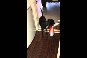 Dog-brings-in-groceries