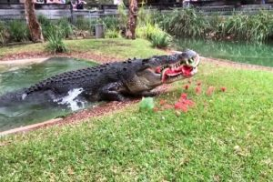 Hungry-Cranky-Croc-Destroys-Watermelon-With-Powerful-Jaw