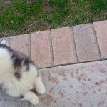 Husky Puppy Howl