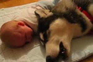 Siberian-Husky-and-Baby-crying-together