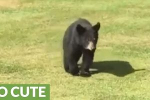Wild-bear-cub-gives-golfer-a-loving-hug