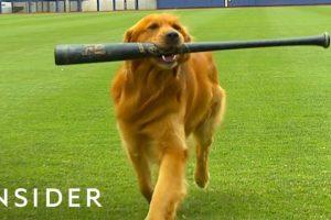 Dog-Works-As-A-Batboy-At-Baseball-Games
