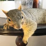 Woman Rescues Baby Squirrel — Then Becomes A Complete Squirrel Mom