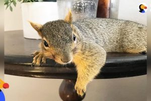 Woman-Rescues-Baby-Squirrel-—-Then-Becomes-A-Complete-Squirrel-Mom-The-Dodo