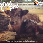 Fluffy Cow Is Obsessed With This Little Goat