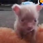 Newborn Albino Puppy Shows His Mom He's A Survivor