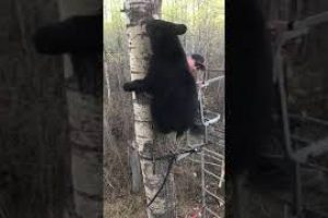 Hunter-Experiences-Close-Encounter-With-Bear-in-Tree-Stand-989387
