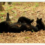 Mama Black Bear Playing With Her Precious Little Cub