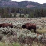 A Traffic Jam in Yellowstone National Park