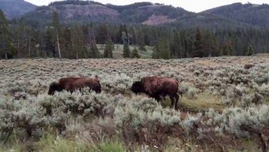 Traffic-jam-in-Lamar-valley-Yellowstone-national-park