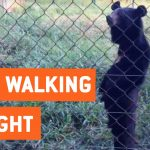 Bear Walks Standing Upright