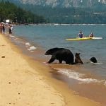 Bears Swimming with People at the Beach