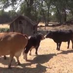 Cows Run with Joy After Meeting New Friends