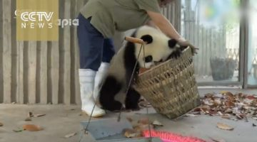 Giant Pandas Create Trouble as Staff Cleans Their House