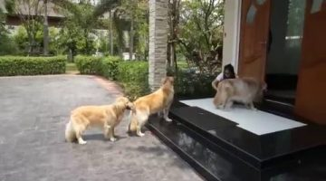 Golden Retrievers Patiently Wait to Get Paws Cleaned