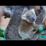Koala Bears Aren't Actually Bears