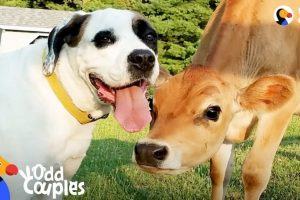 Dog-Turns-Lonely-Baby-Cow-Into-A-Happy-Puppy-The-Dodo-Odd-Couples