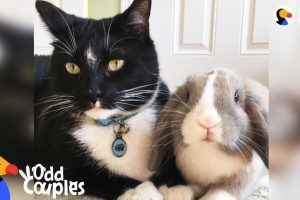 Feisty-Cat-Plays-SO-Gently-With-His-Bunny-Best-Friend-The-Dodo-Odd-Couples