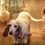 Rescue Duck Would Do Anything to Be Like the Dogs
