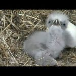 Highlights of Cute Baby Eaglets From D.C.'s Eagle Cam