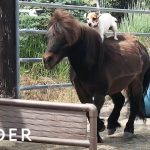 How This Dog Learned to Ride Horses