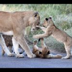 Lion Cub Madness – The Cutest Sighting Ever!