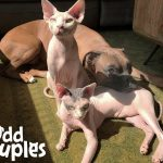 Hairless Cats Team Up to Annoy Their Favorite Dog