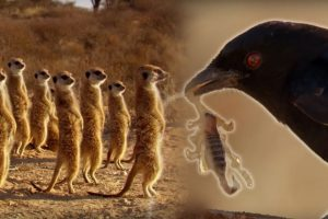 Drongo Bird Tricks Meerkats
