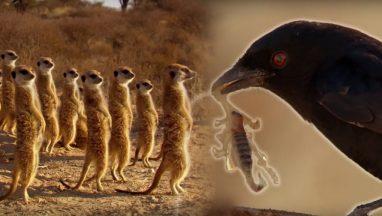 Drongo Bird Tricks Meerkats