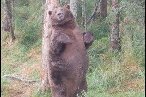 Giant Bear at Brooks Falls