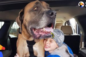 HUGE Dog Learns To Walk Again So He Can Be With His Favorite Boy