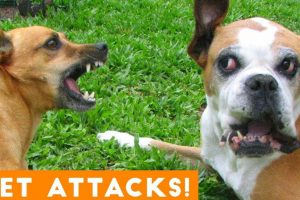 Funniest Animal Attacks Compilation August 2018