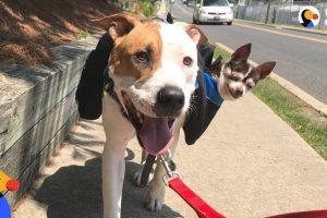 Rescue Dog Carries Senior Dog Best Friend on Walks