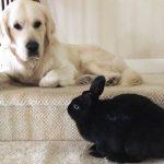 Bunny and Golden Retriever Dog Do Everything Together