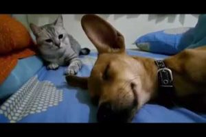 Cat Is Annoyed by a Dog's Sleep Fart