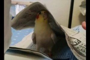 Cockatiel Playing Peekaboo