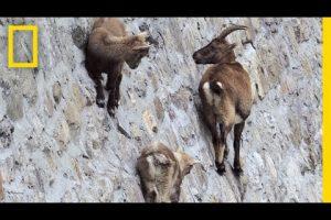 Goats Climbing on a Near-Vertical Dam